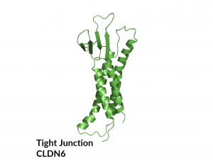 Case-Study-Tight-Junction-CLDN6